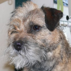 Rolling Coat bei einem Border Terrier co S Wellner